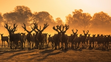 Herd of Milu deer